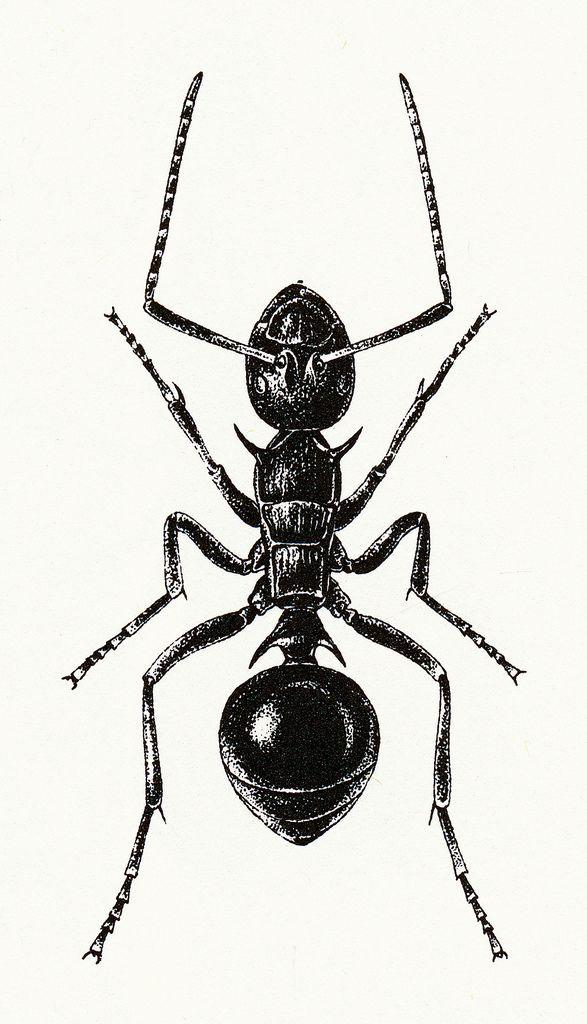 Fourmi | Dessin insecte, Linogravure