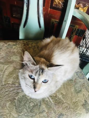 Ragdoll X Snow Bengal For Sale In Grimsby North East Lincolnshire Preloved In 2020 Unusual Animals Ragdoll Cats And Kittens