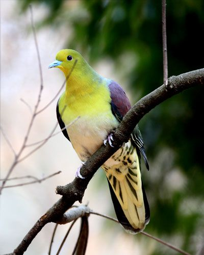 White-bellied green pigeon (Treron sieboldii) アオバト