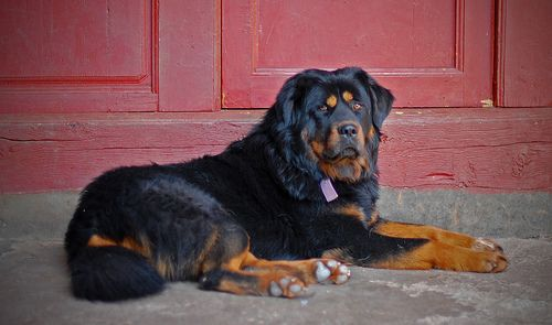 Rottweiler Tibetan Mastiff Mix Dogsandpupsdaily Large Dog Breeds