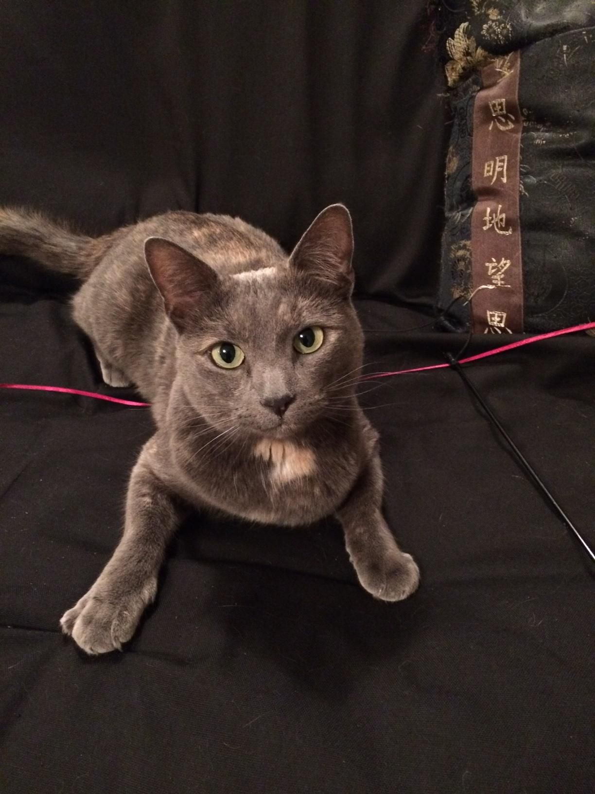 Mila is an adoptable Domestic Short Hairgray searching