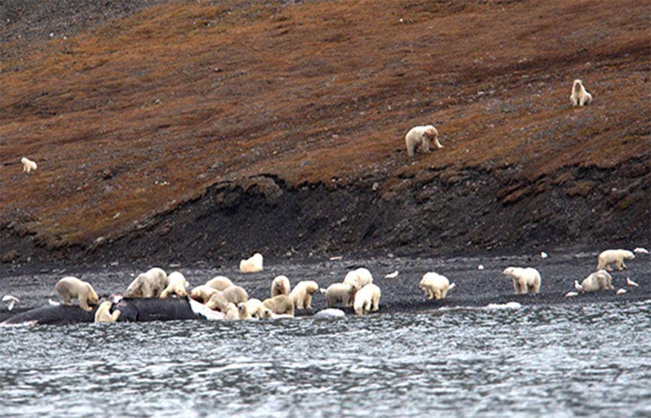 чукотка медведи едят кита фото одна