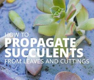 Cómo propagar las suculentas de las hojas y recortes