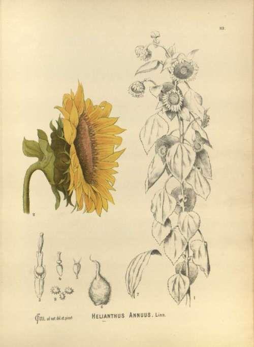 Scientificillustration Helianthus Annuus L Sunflower Sketches Botanical Art Botanical Drawings