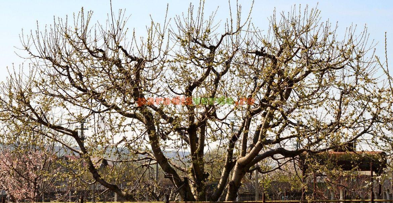 Principii pentru tăieri de rodire la cireș, corect făcute | Paradis Verde
