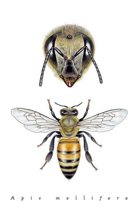 Art - Insects - Bee - by Noel Badges Pugh - Illustration for Science ...