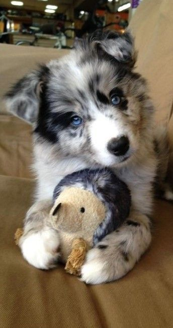 Pin By Brier Hopper On Australian Sheepdogs Cute Animals Australian Shepherd Blue Merle Baby Animals