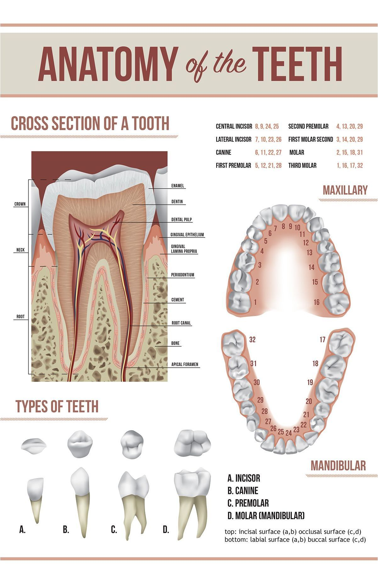 medium resolution of how to brush your teeth simple instructions dental advice simple diagram of the teeth