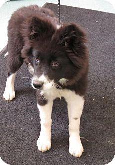 Baltimore Md Border Collie German Shepherd Dog Mix Meet Oreo