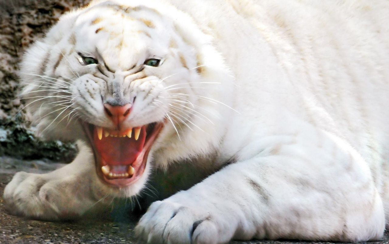 Angry White Tiger Wallpapers Scary Animals Angry Animals Animals Wild