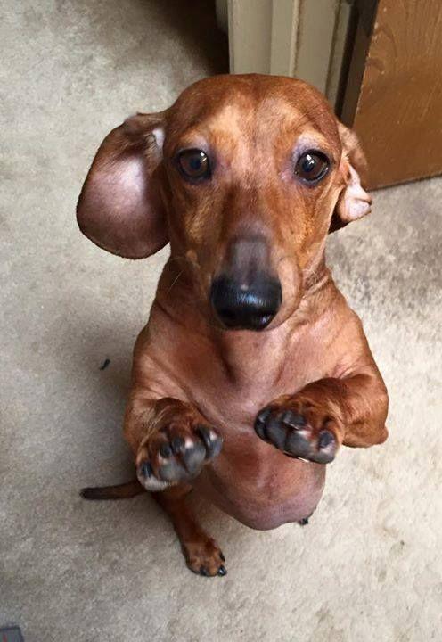 Can I Oh Please Can I Have One Dachshund Love Dachshund Dog