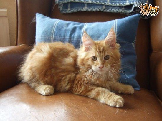 Maine coon kitten lancashire