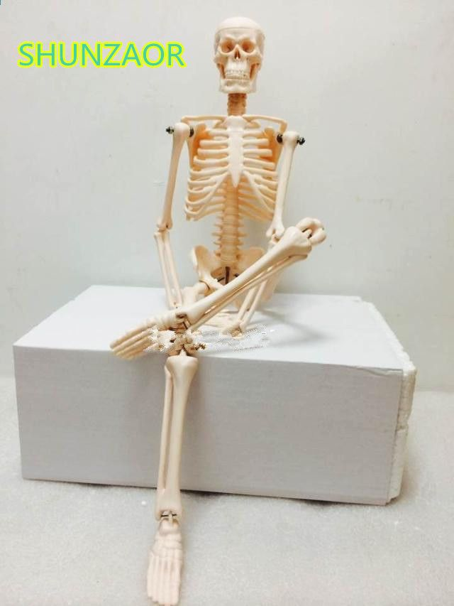 Schön Menschliche Anatomie Skelettmodell Bilder - Menschliche ...