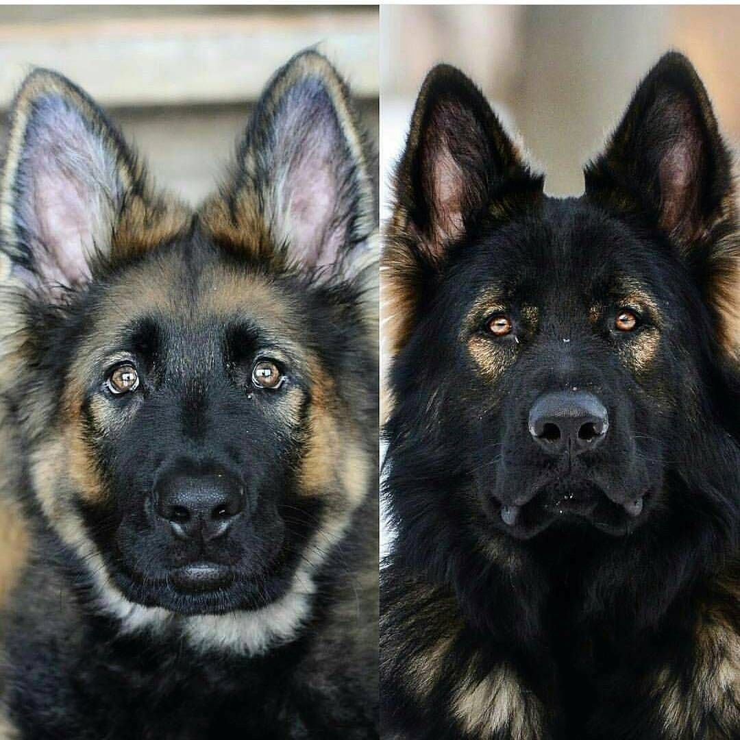 German Shepherd Gsd Ilovegermanshepherd On Instagram What An Amazing Transformation Sable German Shepherd German Shepherd Puppies Shepherd Puppies