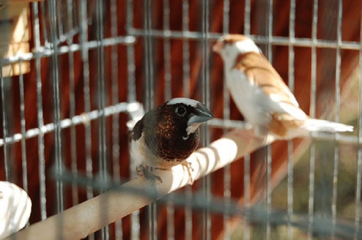 Cara Mudah Mengetahui Perbedaan Emprit Jepang Jantan Dan Betina Betina Burung Jalak