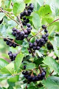 Meet the Aronia berry. (I call it the Jesus berry, but it hasn't caught on yet.) Freakishly healthy