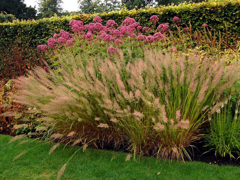 Calamagrostis brachytricha google search ornamental for Contemporary garden grasses