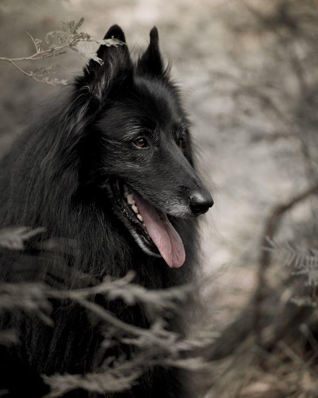 Portrait Of Wolfcub Belgiansheepdogin A Forest C Wolf Shadow Photography Shadow Photography Animal Photography Wolf Love