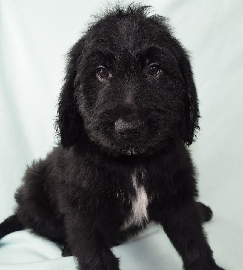 Henry A Charming Ckc Male Goldendoodle Puppy For Sale In