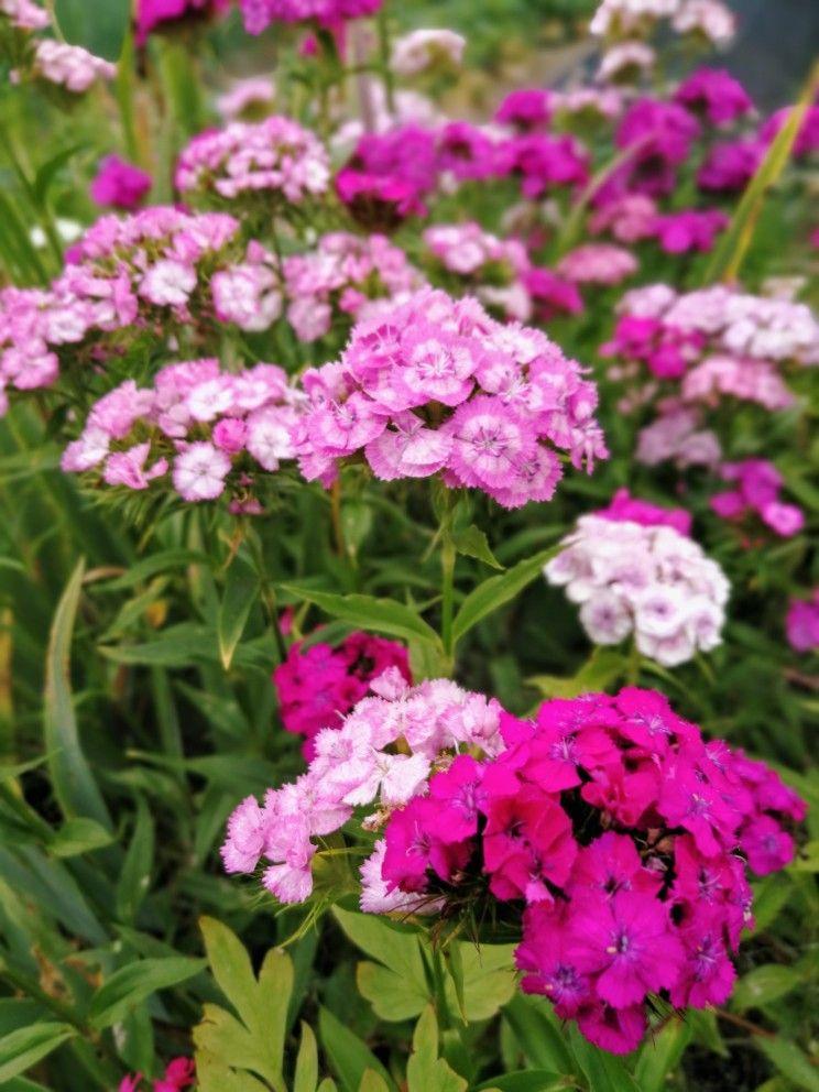 Nelken Beautiful Flowers Bloom Flowers