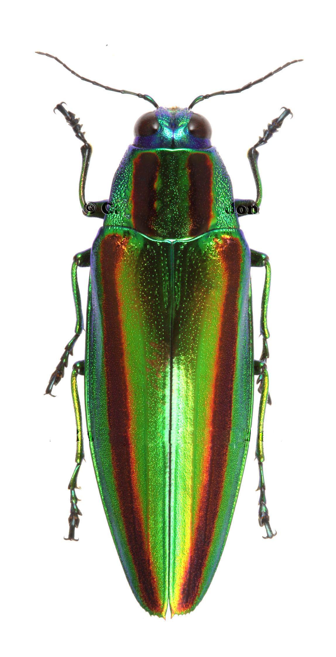 14++ Jewel beetle animal crossing ideas