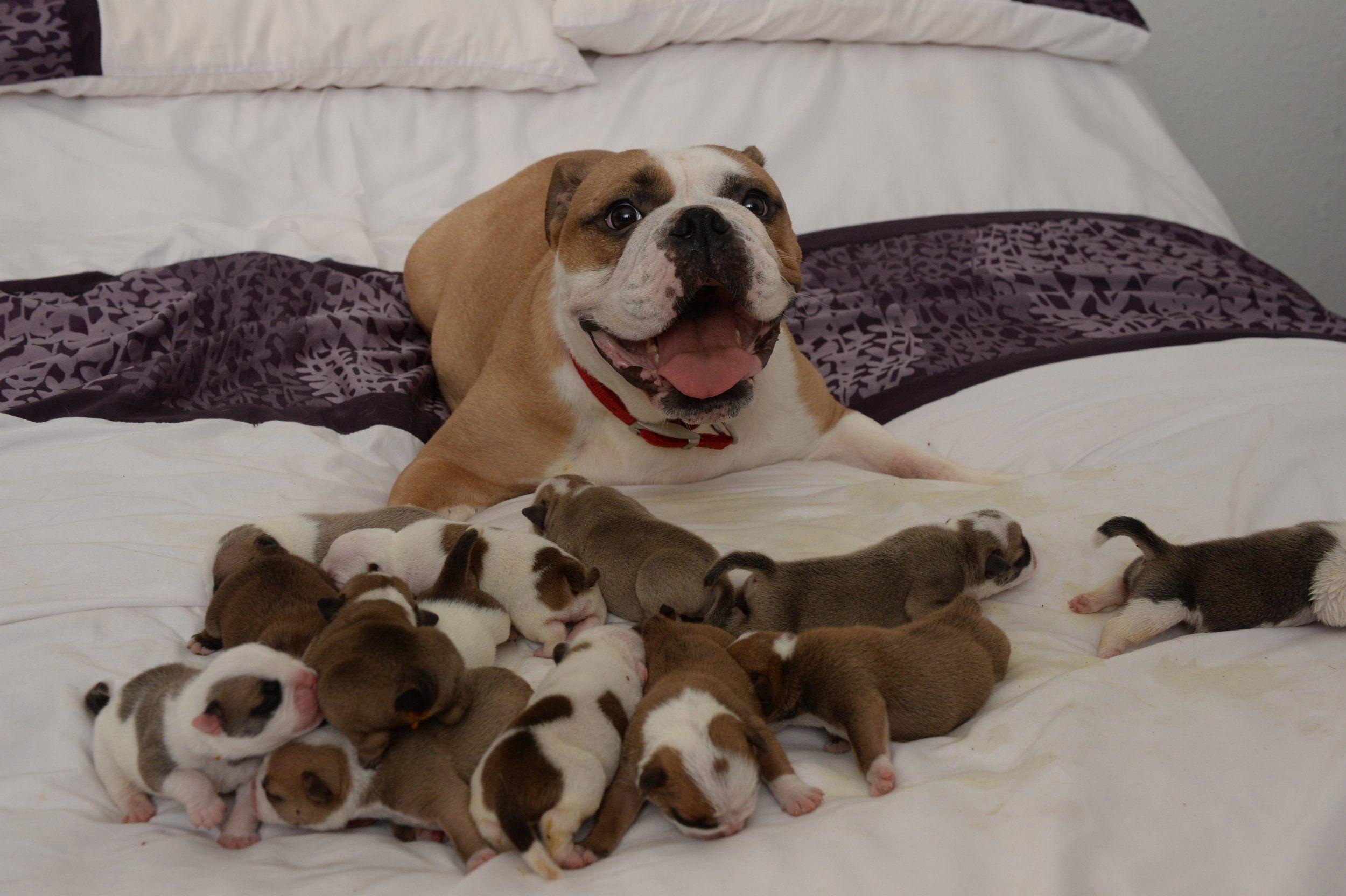 14 puppies Google Search Puppies, Victorian bulldog