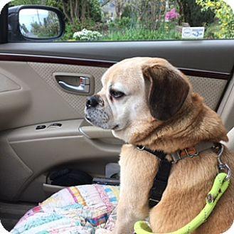 Bellingham, WA Pug/Beagle Mix. Meet Clark, a dog for