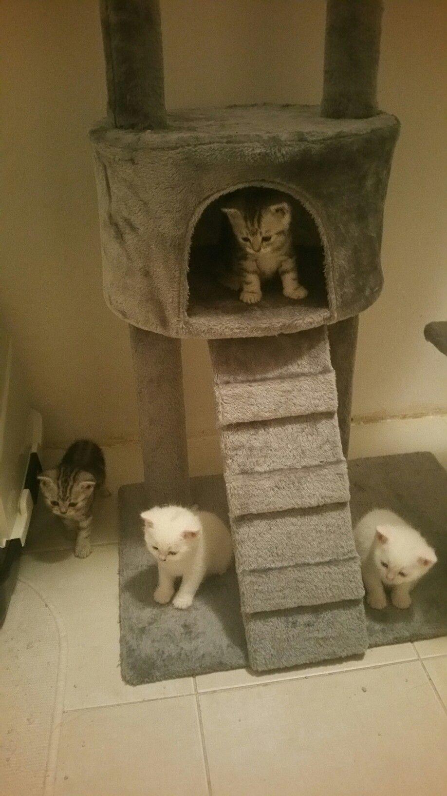 My British kittens ❤