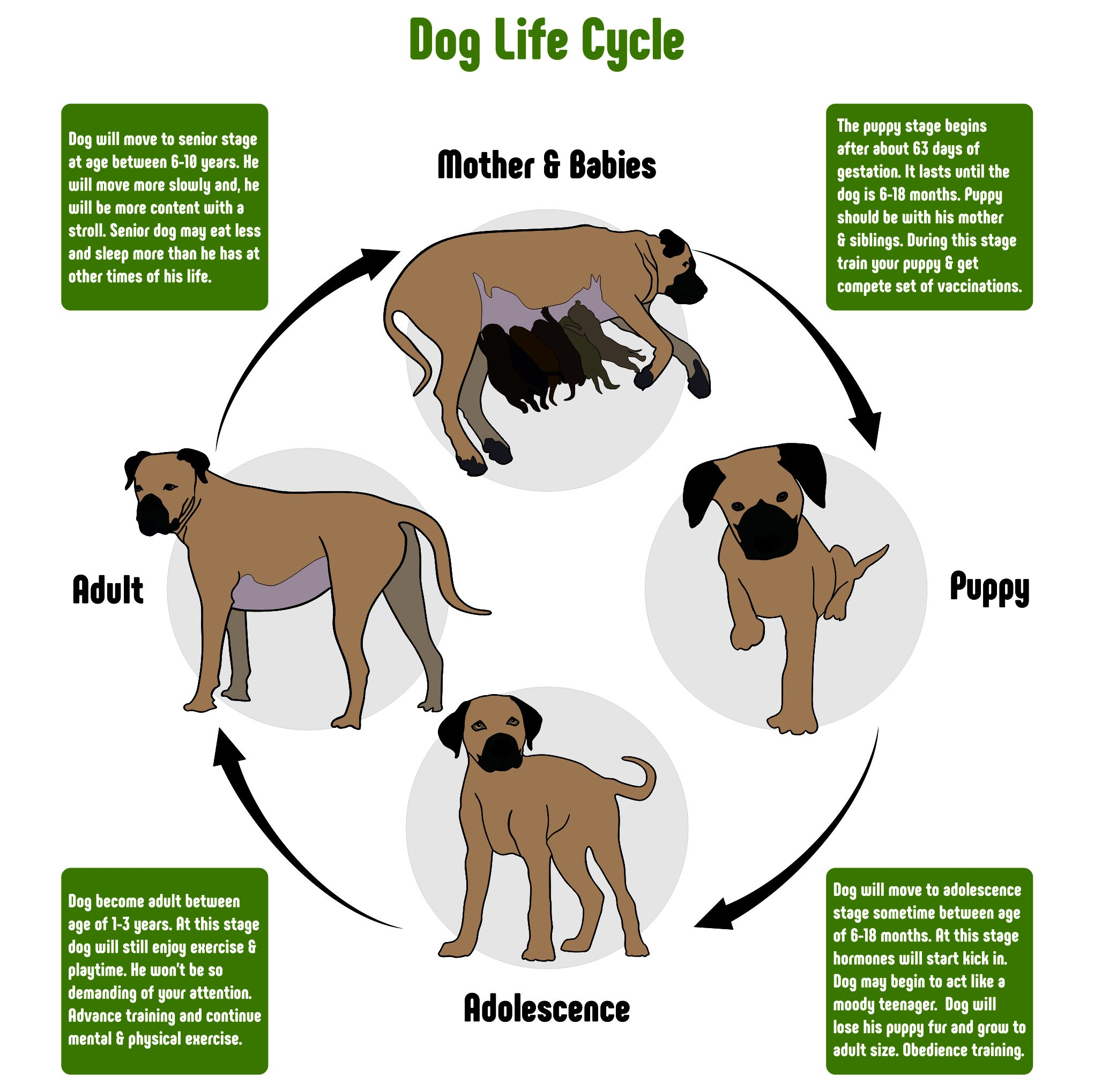 Dog Cycle Life Dog Life Puppy Stages Best Dry Dog Food