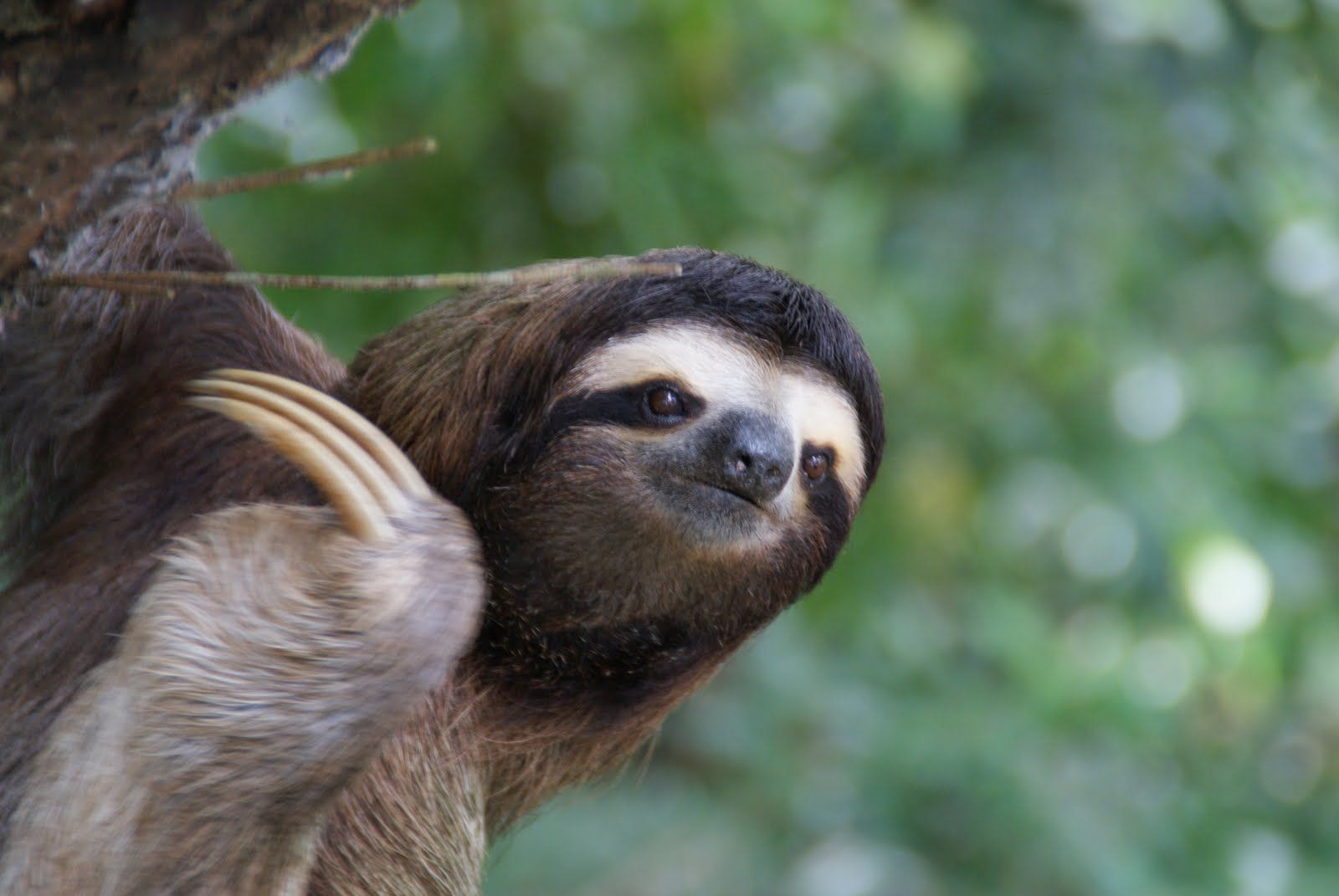 Sloth Desktop Wallpaper Sloth Animal Pictures Cool