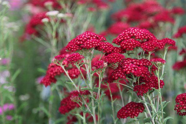 Achillea Millefolium Red Velvet Common Yarrow Achillea Red Plants Achillea Millefolium