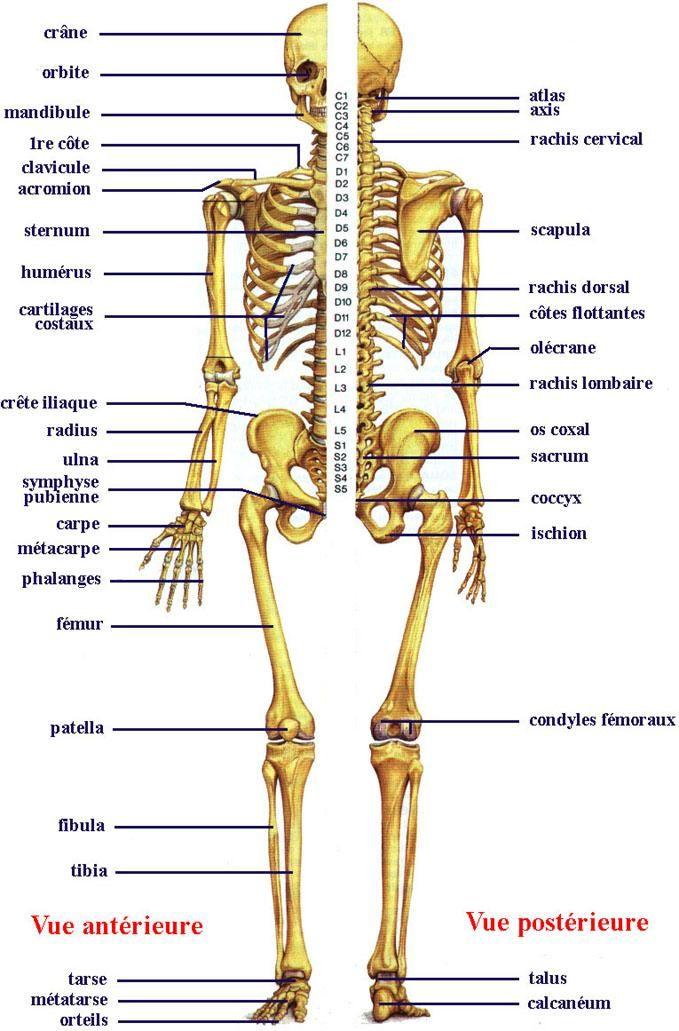 skeleton skeletal front and back skeleton diagram fd 6 rh pinterest com bone skeleton diagram front and back skeleton diagram