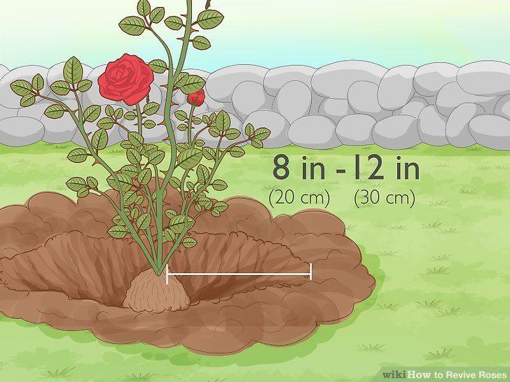 How to revive roses in 2020 rose revival rose bush