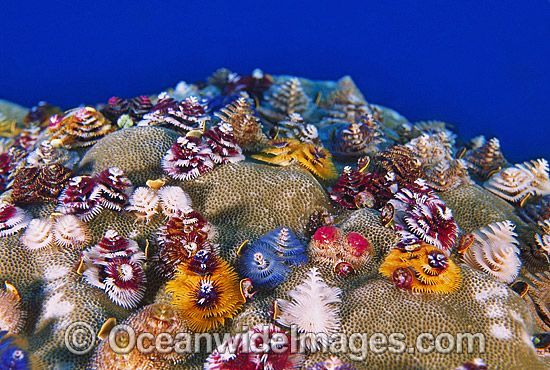 Xmas Tree Worm Rock Porites Corals Might Be Due For A Comeback Worms Xmas Tree Christmas Tree