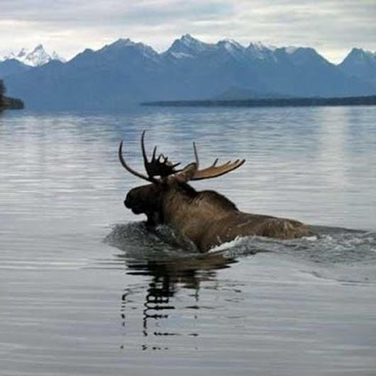 """Interaction With Wild Ducks: """"Grizzly Bear Chasing Moose In The River"""
