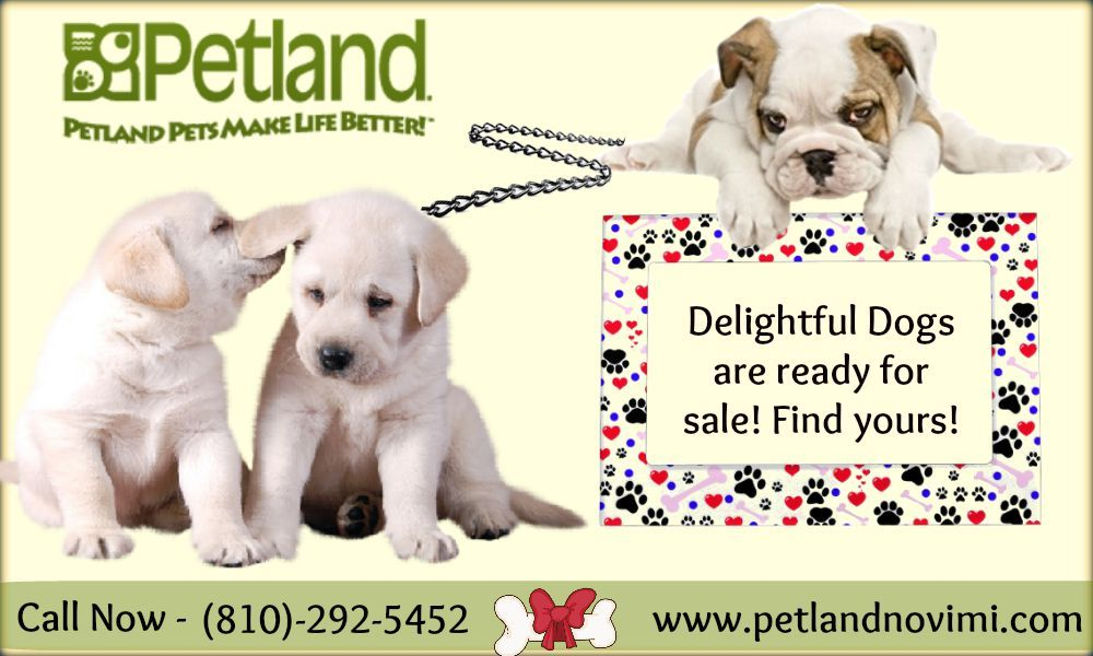 Dogs And Puppies For Sale Petland Novi Michigan Puppy Store With Images Puppy Store Puppies For Sale Dogs