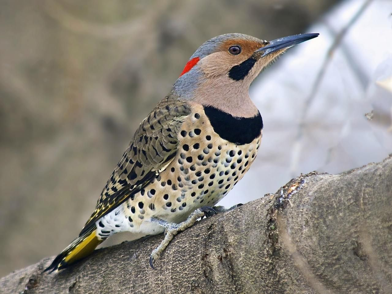 Northern Flicker photos and videos, All About Birds, Cornell