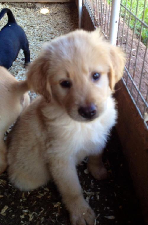 Adopt Hairy Joe On Hunting Dogs Dogs Puppies Labrador Retriever