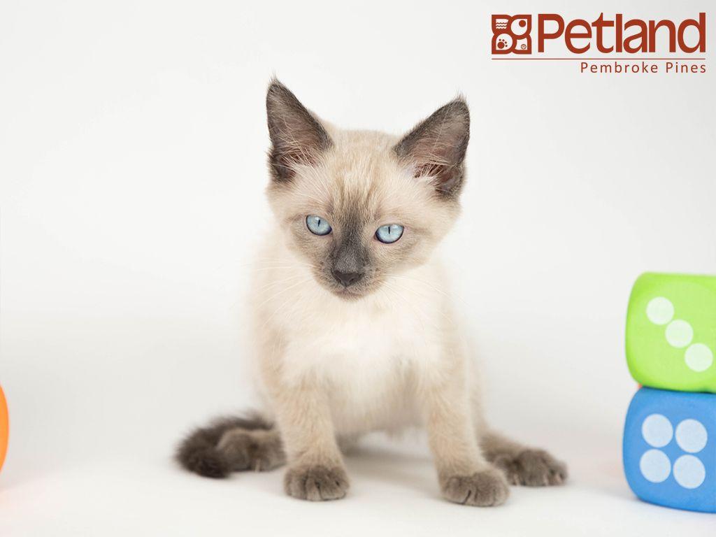 Puppies For Sale Tonkinese kittens, Tonkinese kittens