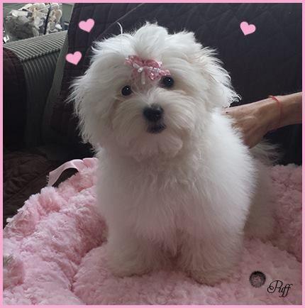 Pampered Pup Coton De Tulear Dogs Coton De Tulear Cute Dogs