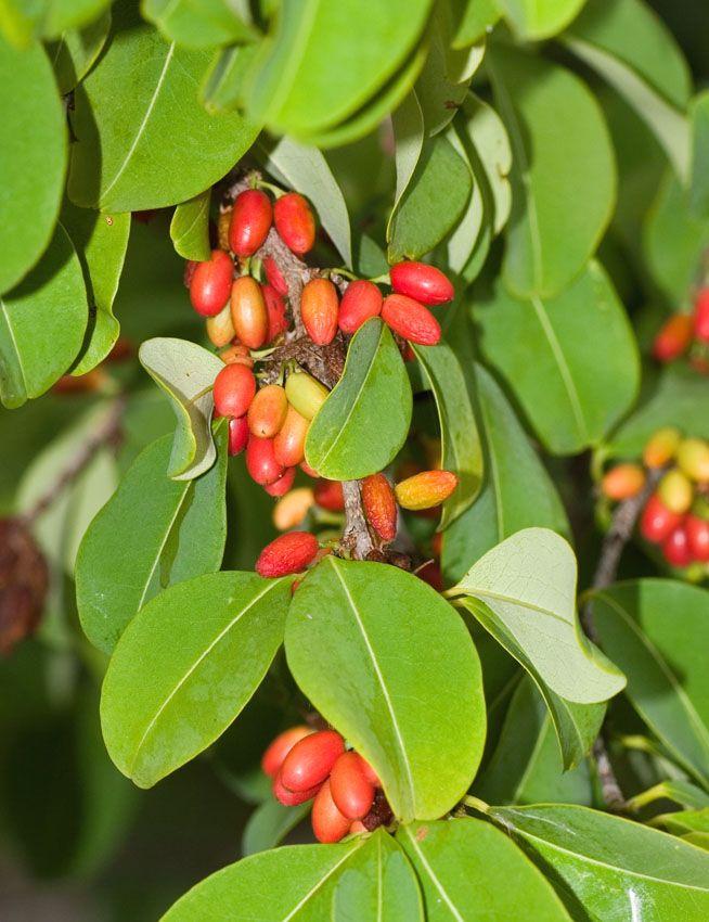 Coca Fruits - Erythroxylum coca is a bush (or a tree, if