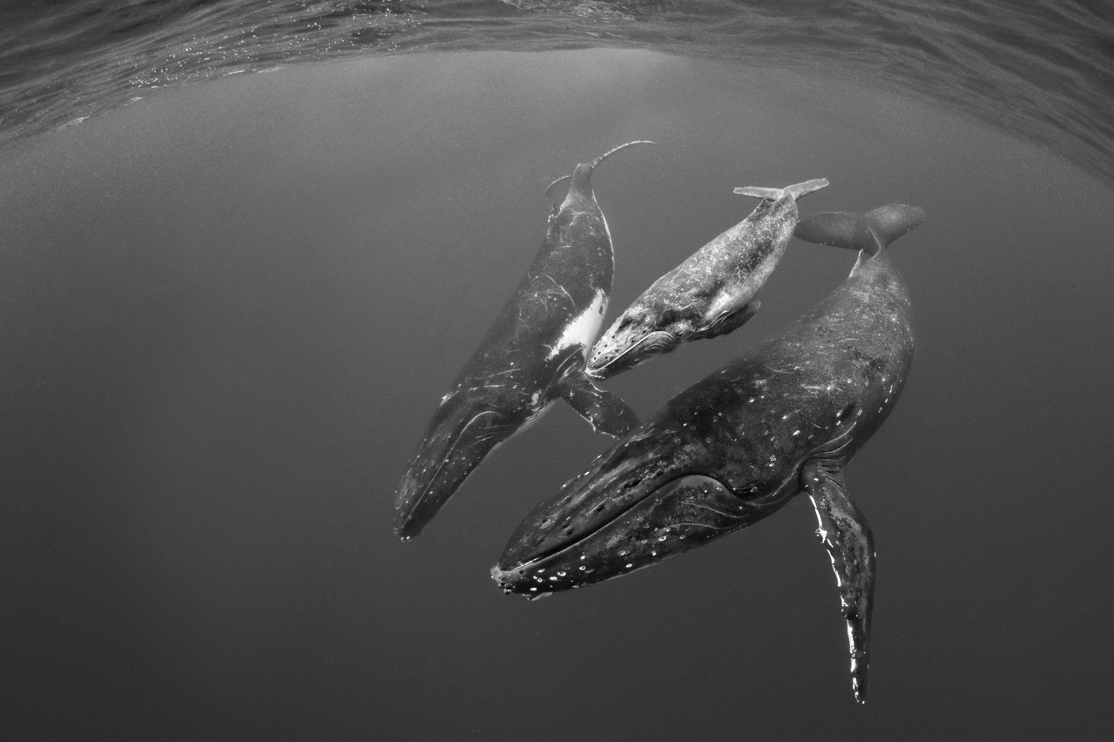 Humpback Whales - Douglas Hoffman