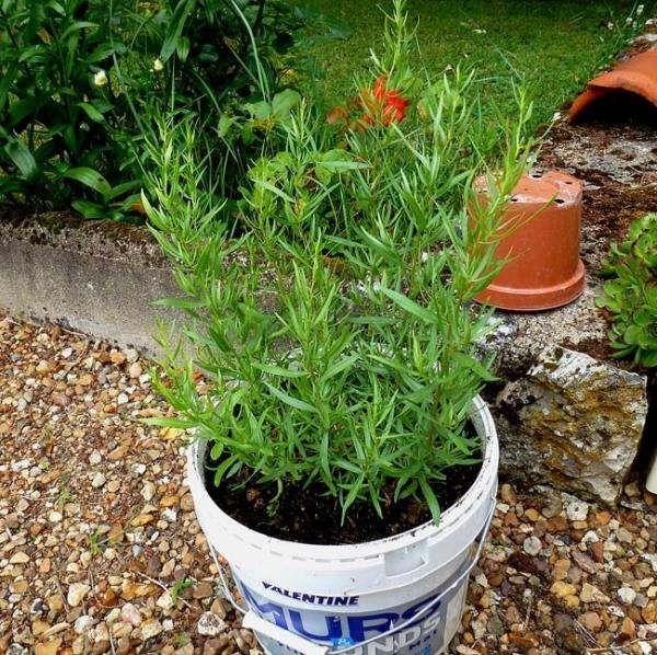 estragon kräuter gewürze topf wachsen eignen | kräuter - natur, Gartenbeit