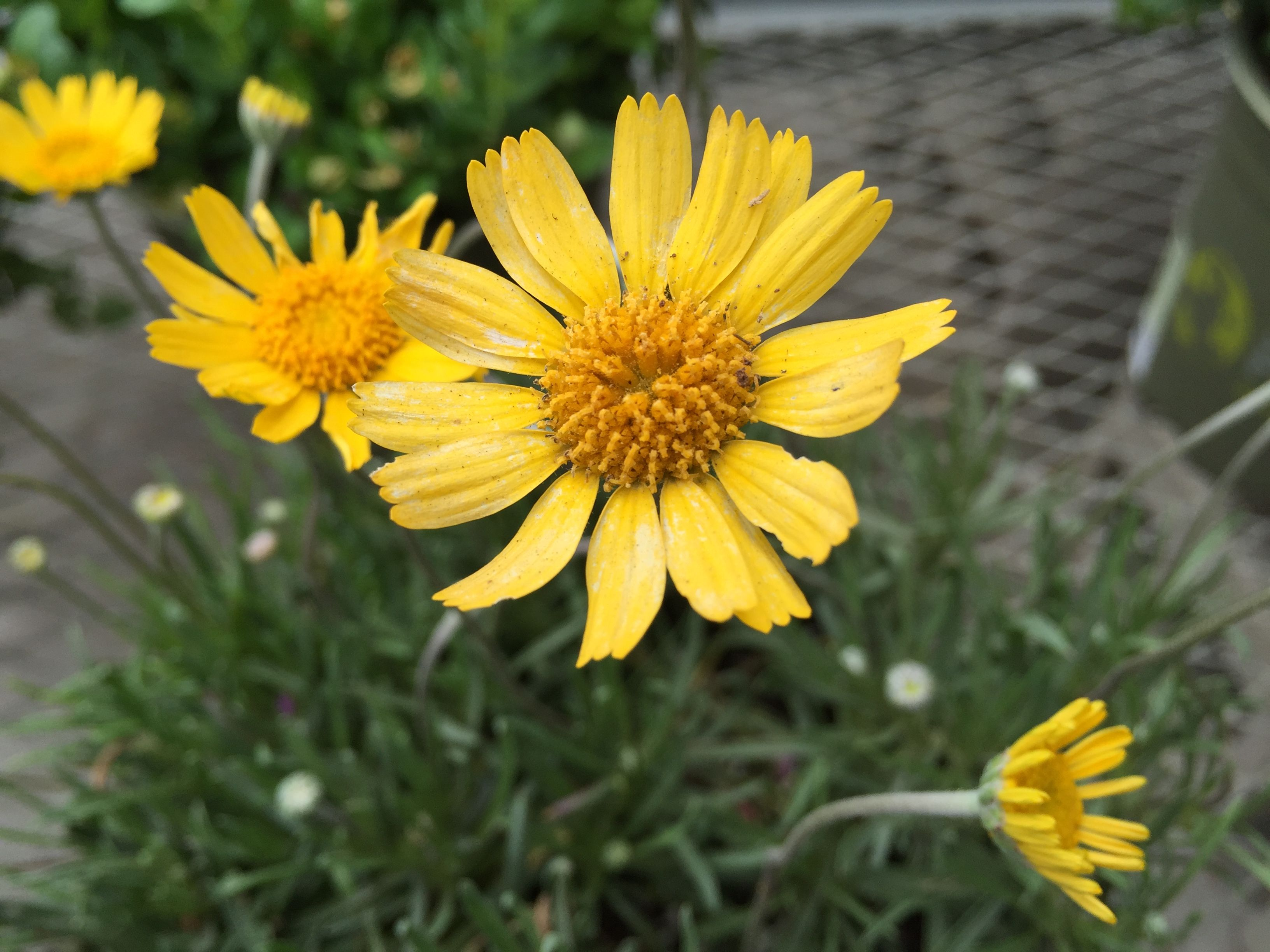 The sundancer daisy is an ever blooming perennial with beautiful the sundancer daisy is an ever blooming perennial with beautiful yellow flowers they are tolerant of many soil types and need very little water mightylinksfo