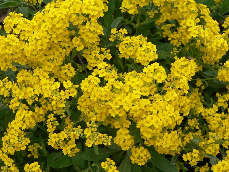 Yellow Alyssum Is An Easy To Grow Perennial Yellow Flowering
