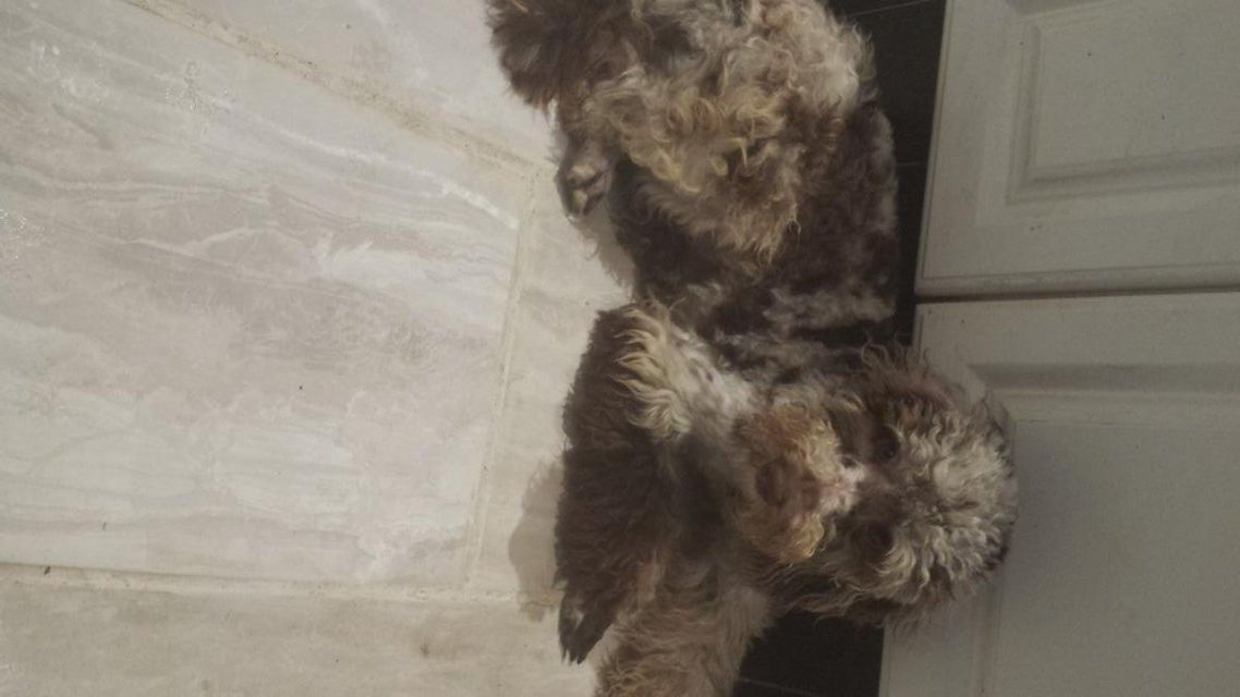 Miniature Poodle For Stud Not For Sale For Stud In Charnock