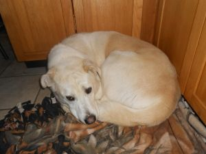 Benji is an adoptable Yellow Labrador Retriever Dog in North Jackson, OH. Benji is a 2 year old, male Yellow Lab/American Eskimo mix. He is a handsome dog and also very friendly. He gets along well wi...