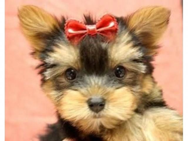 Tiny Yorkie Puppy (With images) Yorkie puppy, Yorkshire