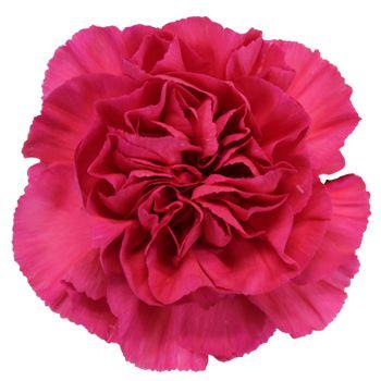 Dark Pink Carnation Flowers Fiftyflowers Com Carnation Flower Pink Carnations Carnations