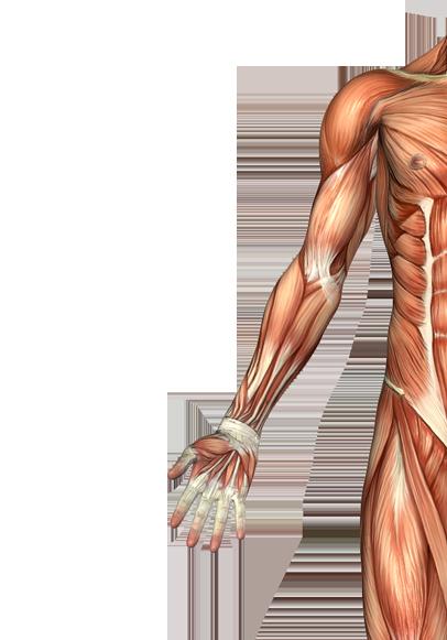 Biceps Brachii Muscle Anatoma Pinterest Anatomy